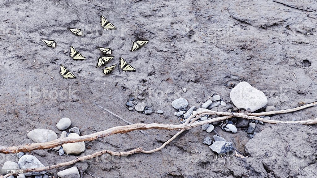 Yellow swallowtail butterflies in the mud stock photo