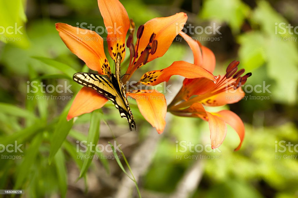 Yellow Swallowtail Butterfly on a Wood Lily stock photo