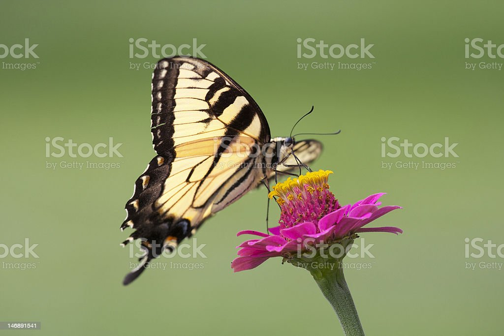 Yellow Swallowtail Butterfly on flower stock photo