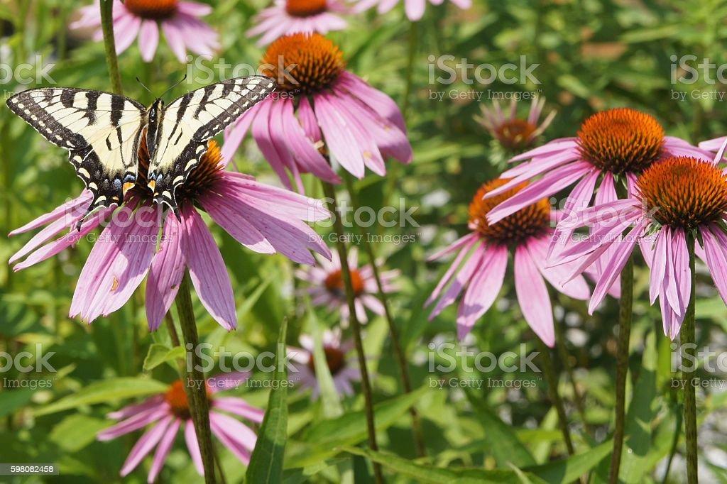Yellow Swallowtail Butterfly on Purple Coneflower stock photo