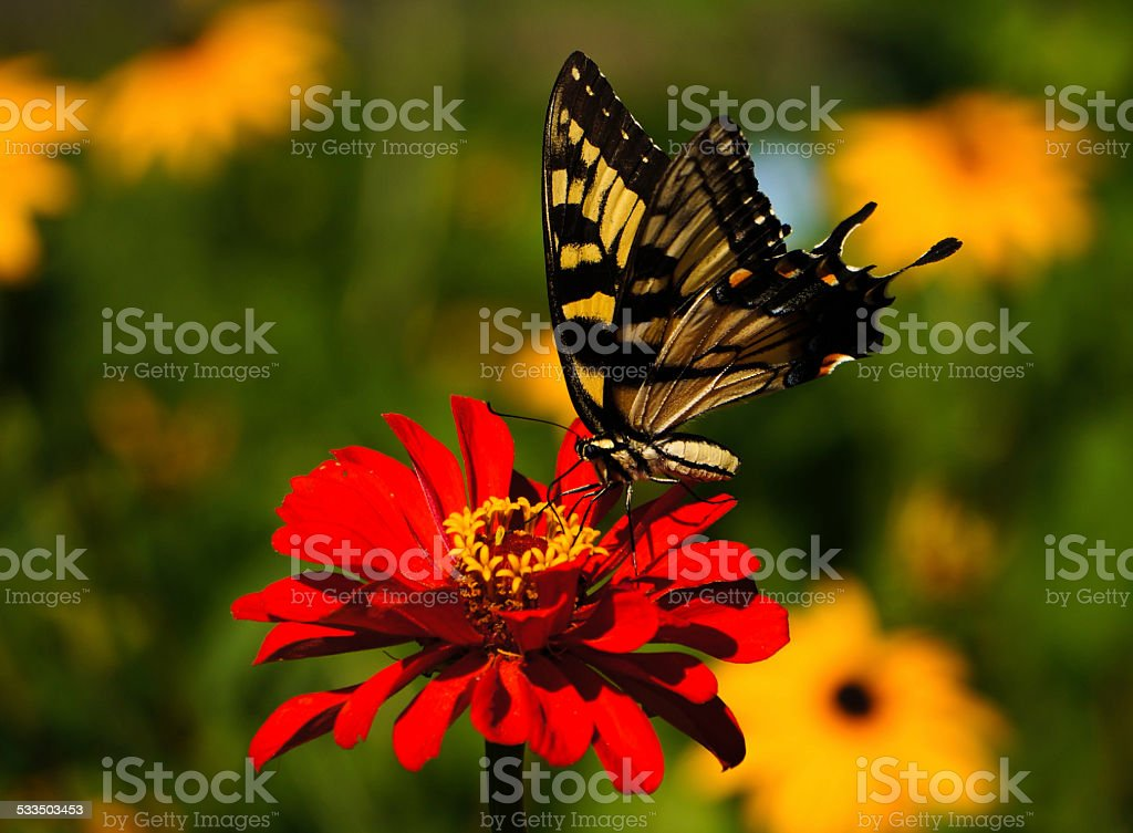 Yellow Swallowtail Butterfly on Red Flower stock photo
