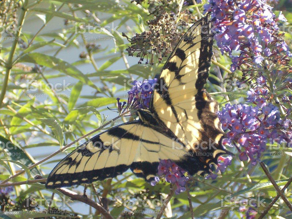 Yellow Swallowtail Butterfly stock photo