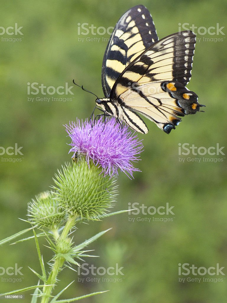 Yellow Swallowtail Butterfly Sitting On A Purple Thistle stock photo