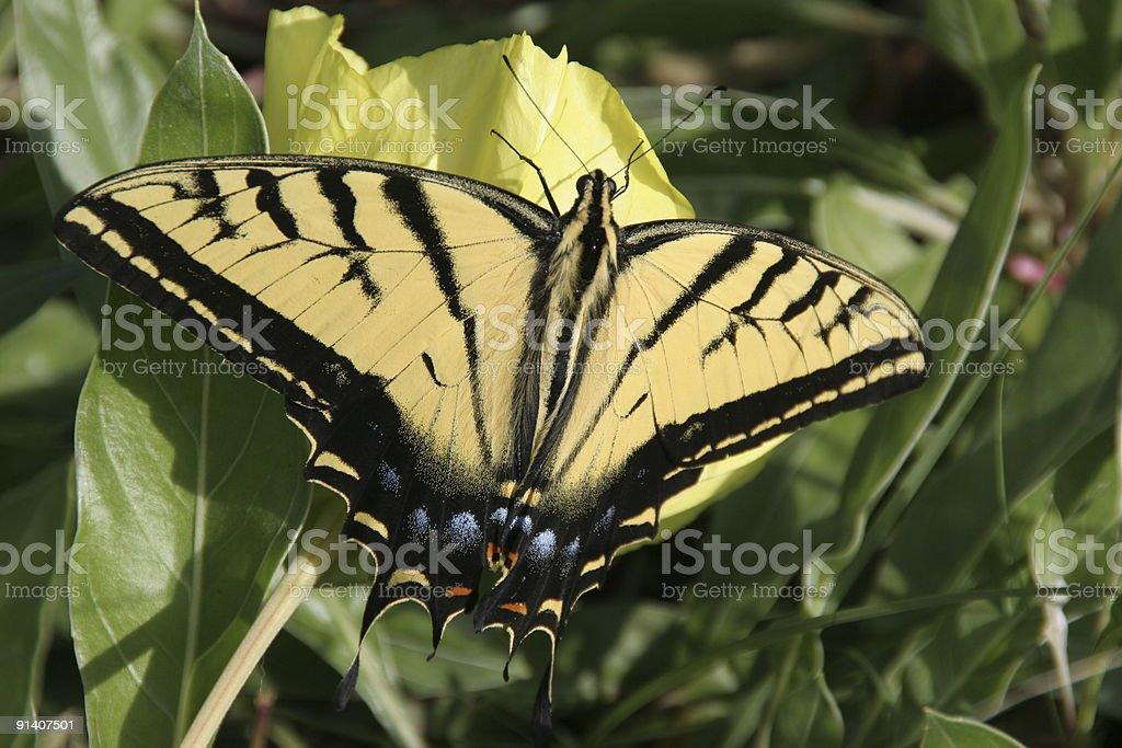 Yellow Swallowtail stock photo