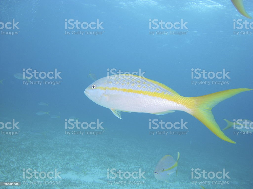 Yellow tail snapper stock photo