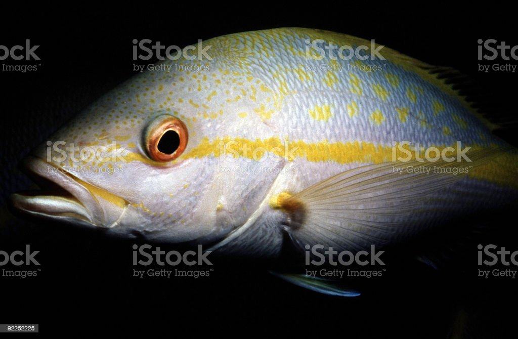 Pagre jaune queue photo libre de droits