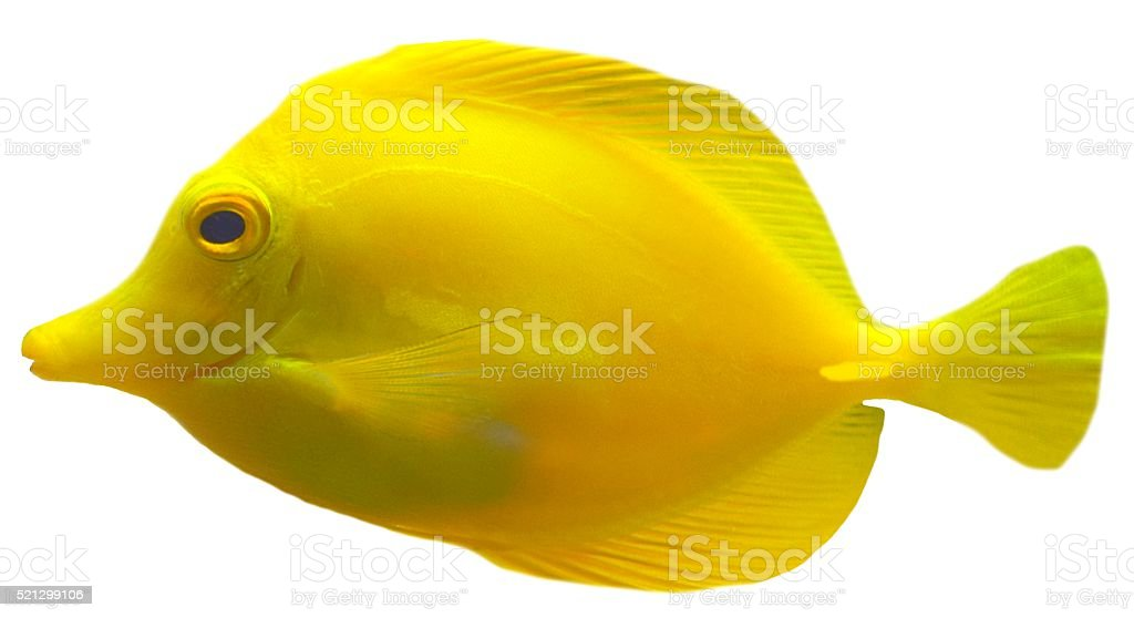 yellow tang on a white background stock photo