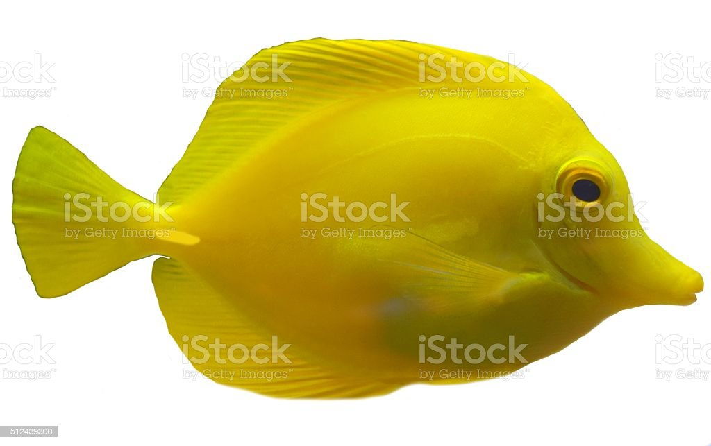 yellow tang on a white background tropical fish isolated stock photo