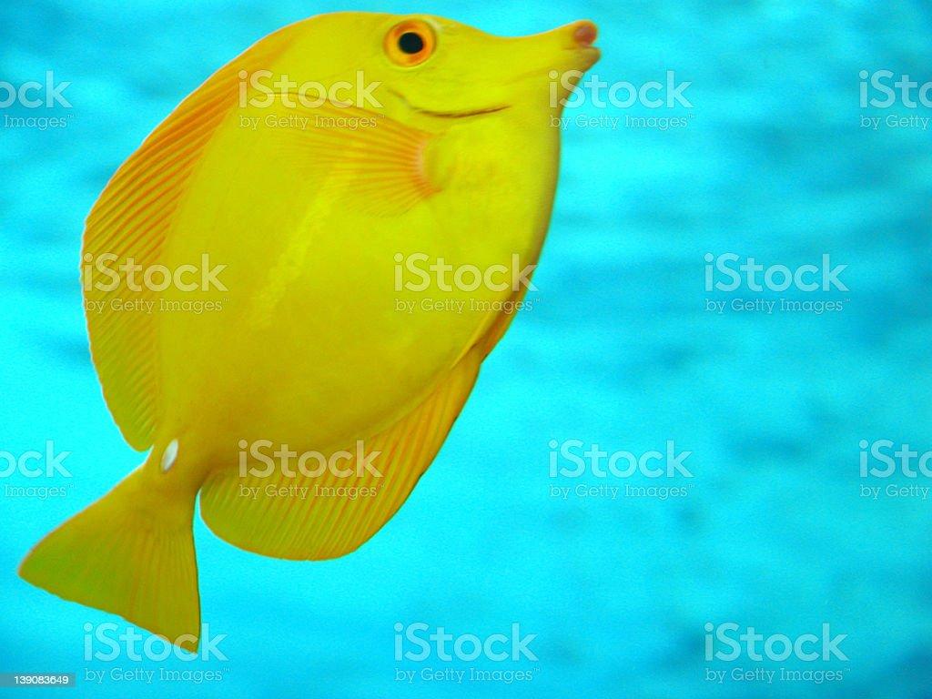 Yellow Tang royalty-free stock photo
