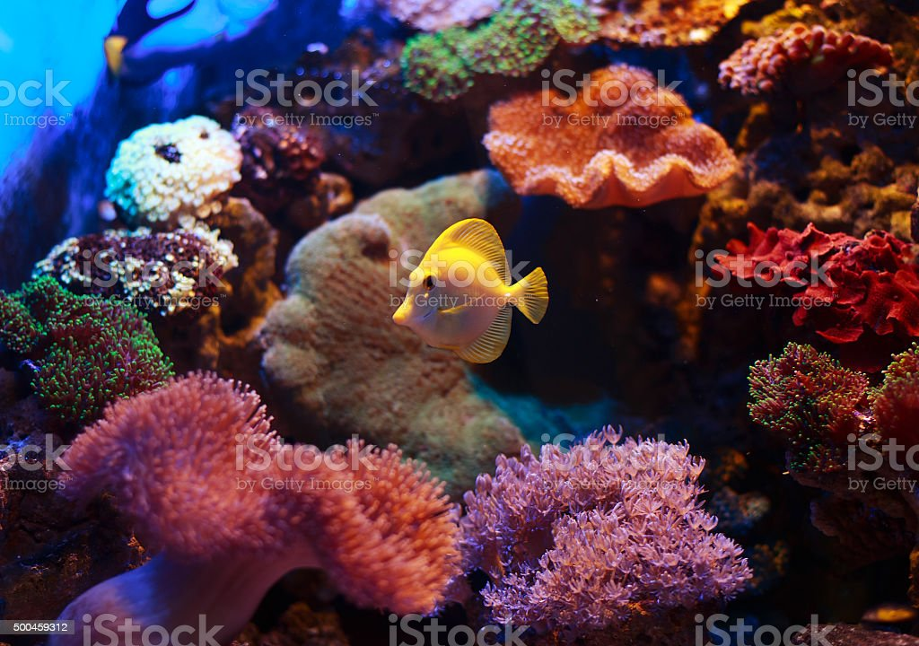 yellow tang 'zebrasoma flavescens' stock photo