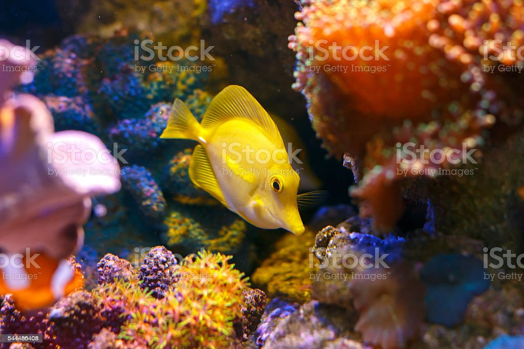 Yellow tang 'zebrasoma flavescens stock photo