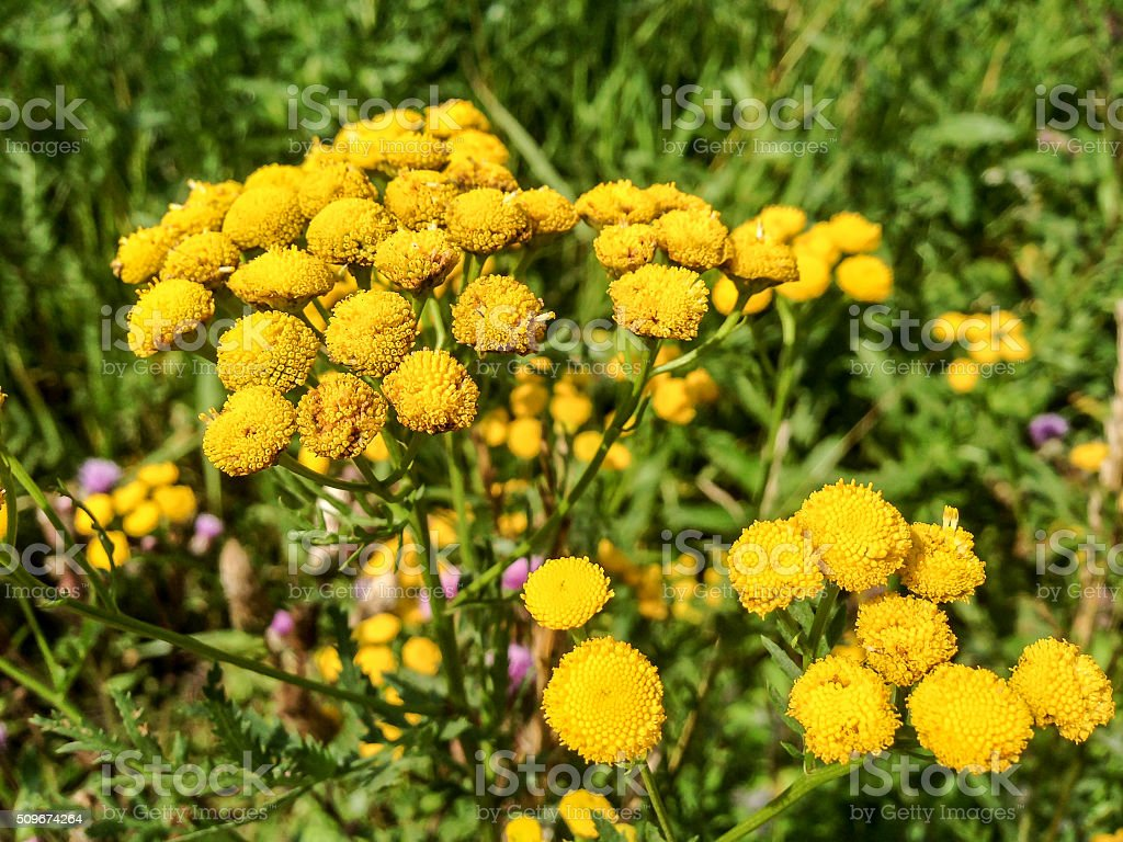 Yellow tansy in garden grass stock photo