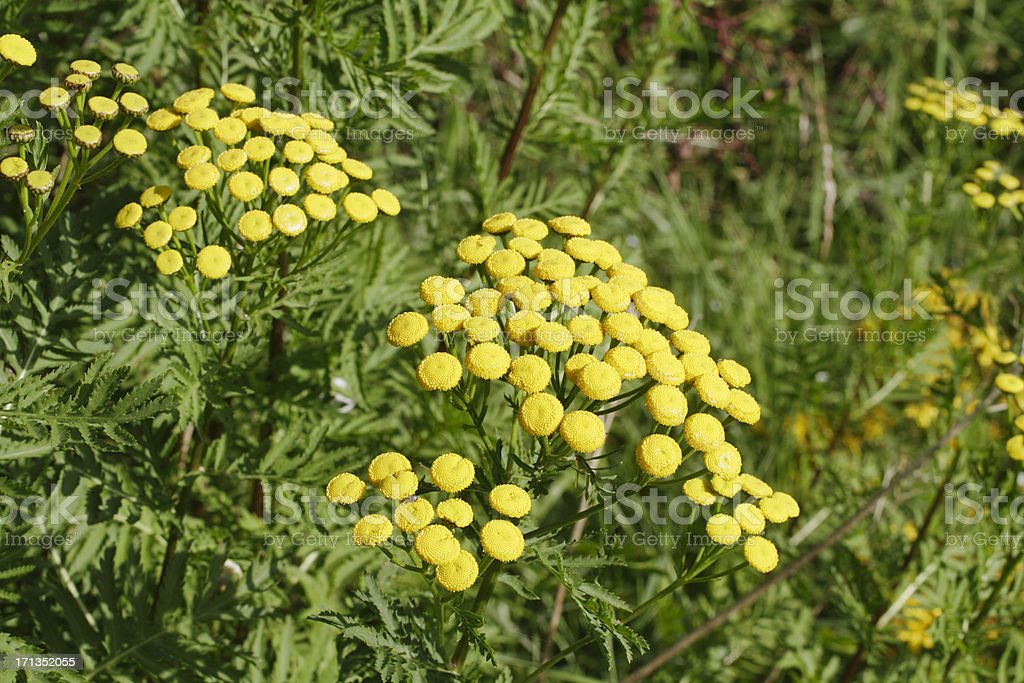 Yellow tansy wildflower Tanacetum vulgare no petals royalty-free stock photo