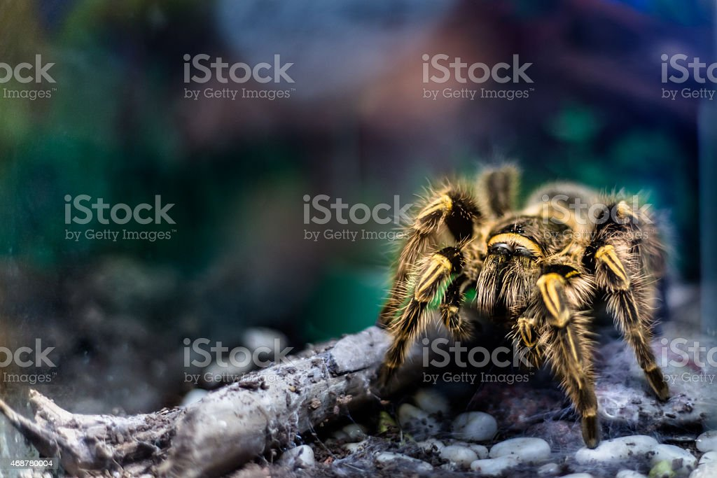 Yellow tarantula in terrarium stock photo