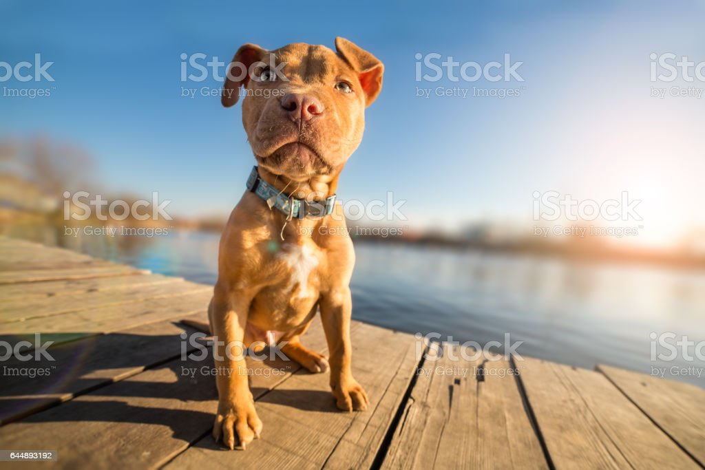 Yellow terrier puppy on vacation stock photo