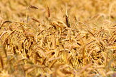 yellow textural wheat field