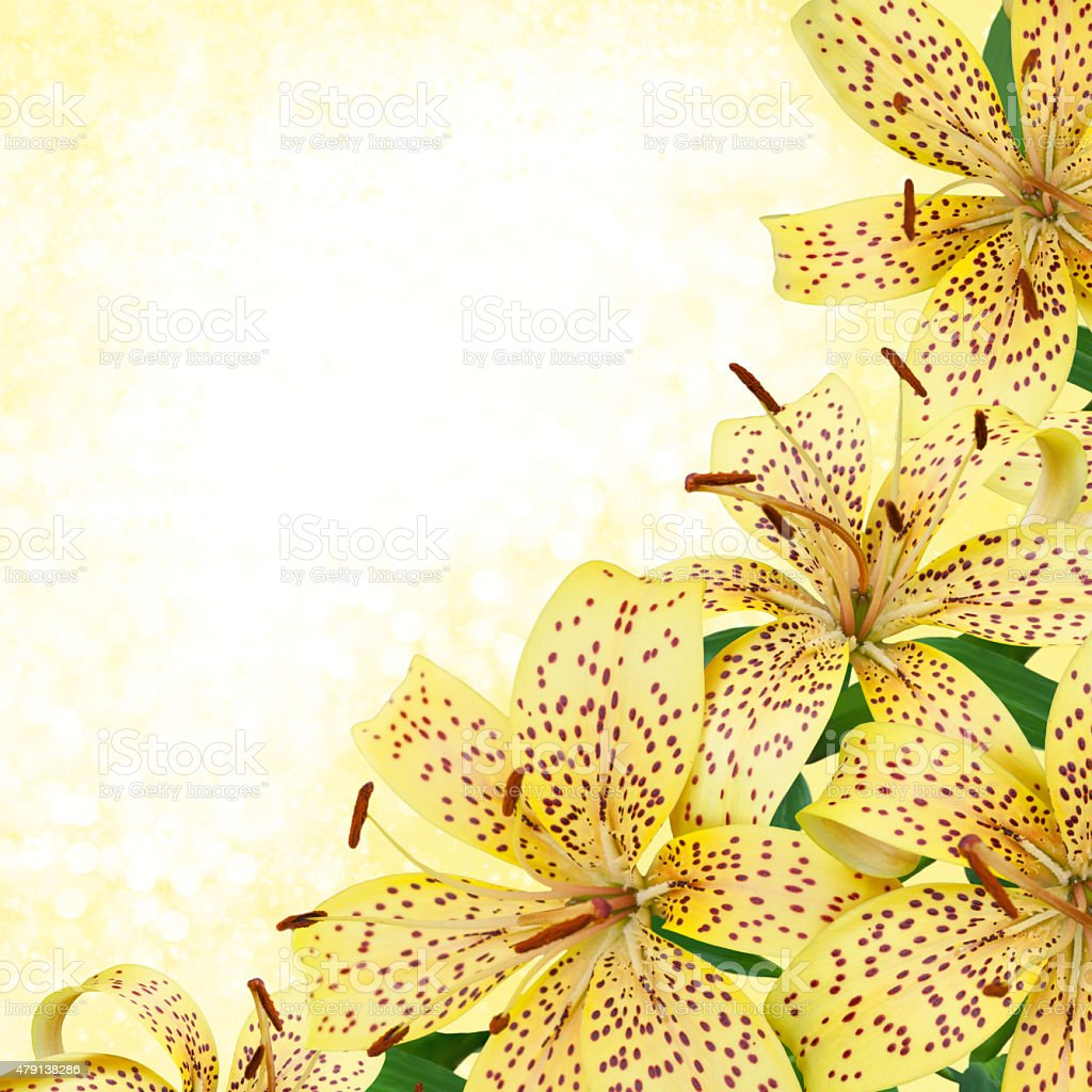 yellow tiger lily flowers  - border design with bokeh background stock photo