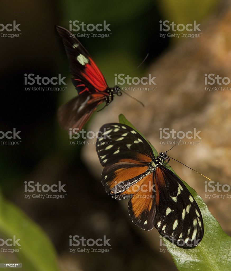Yellow Tiger Longwing and Red Postman Butterflies stock photo