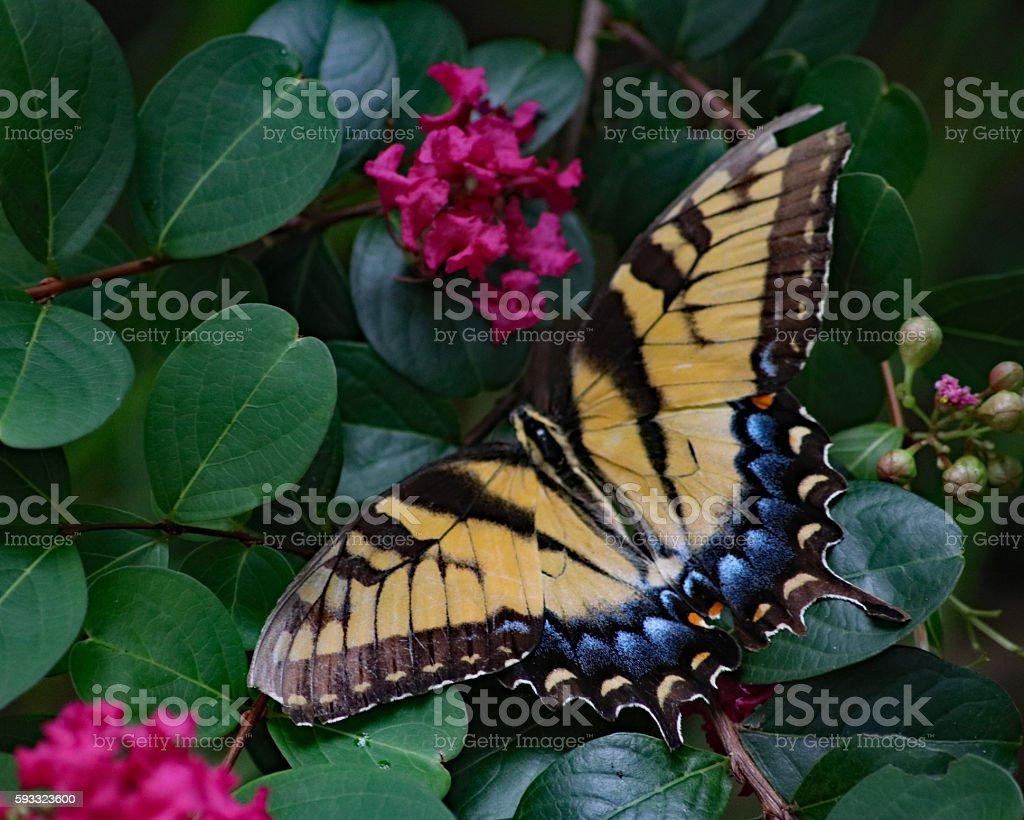 Jaune Papillon tigré photo libre de droits