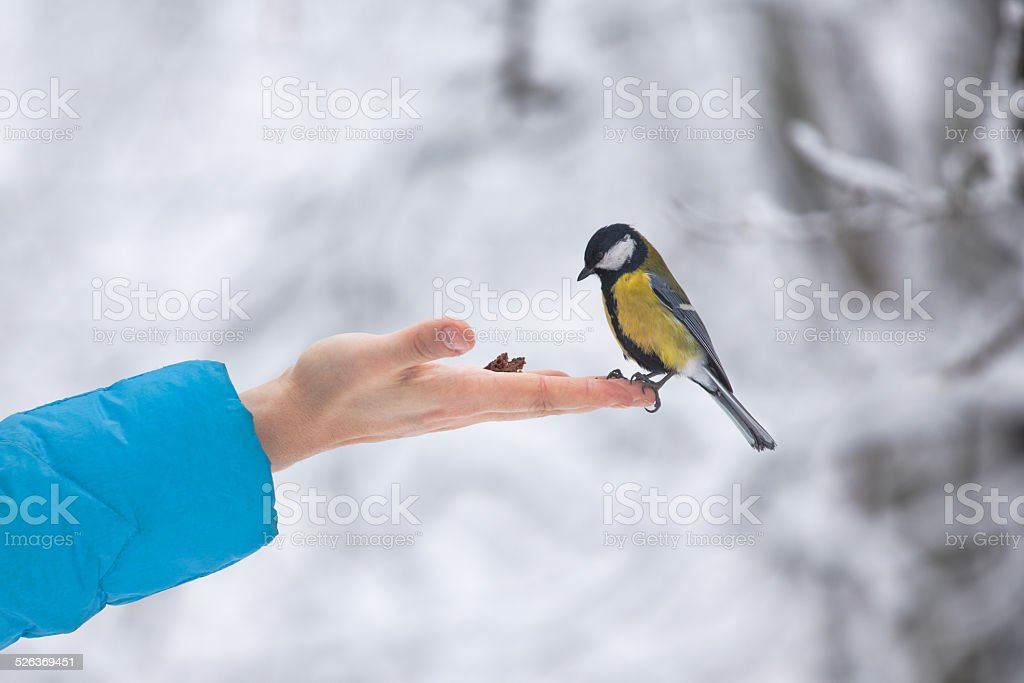 Yellow tit bird sits on the hand curiously looking stock photo