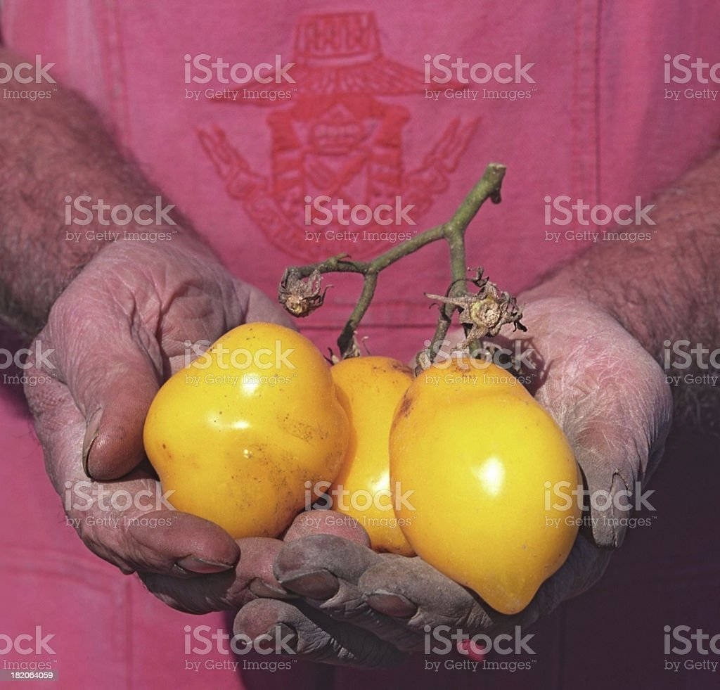 Yellow tomatoes in hands stock photo