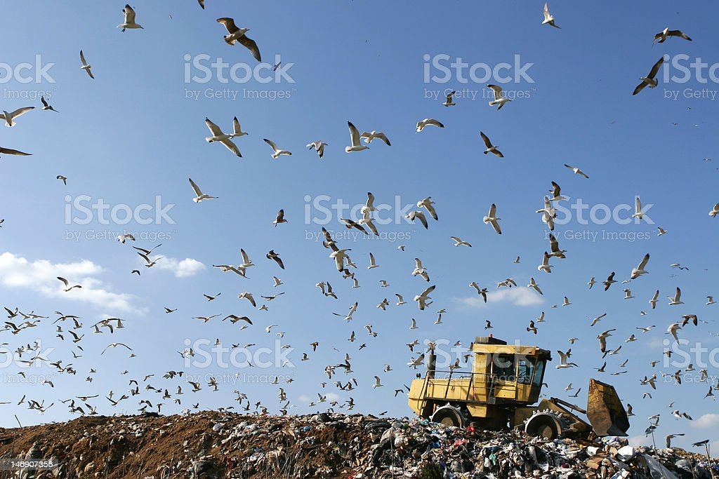 Yellow tractor in a landfill, swarmed with seagulls stock photo