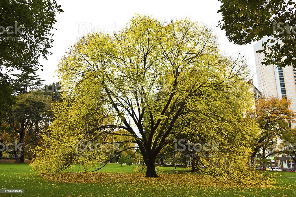 Yellow tree an urban park stock photo
