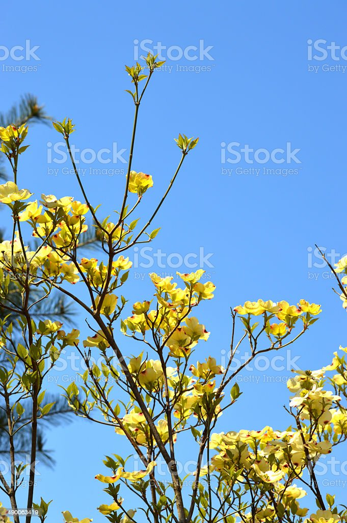 Yellow Tree Blossom in Spring stock photo