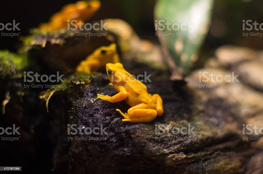 Yellow tree frogs stock photo