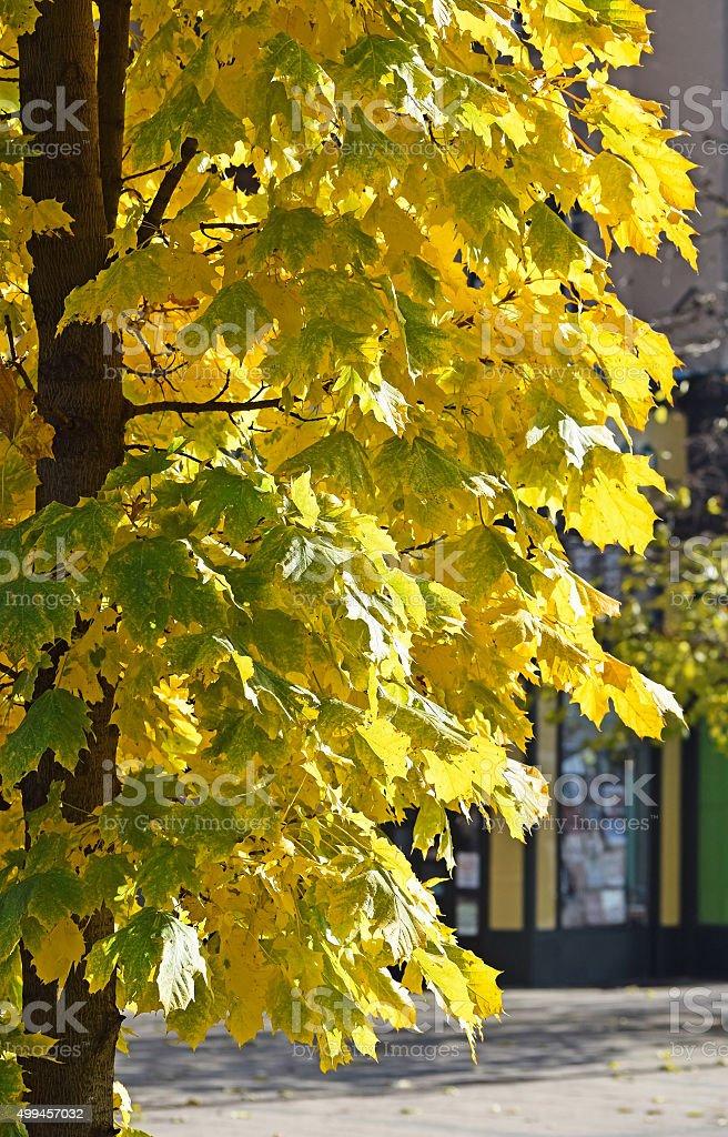 Yellow tree in autumn in the city stock photo