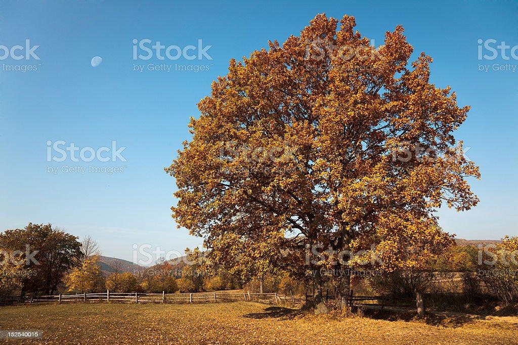 Yellow tree in autumn royalty-free stock photo