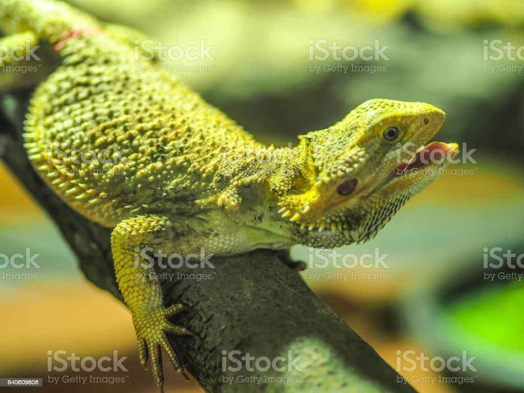 A yellow tree lizard is hanging on a wood with it face raising up, opening mouth and looking toward us. It textile shows the sharpen spiky skin all around on it body stock photo