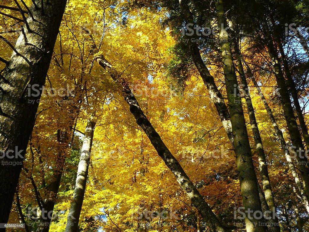 Yellow trees stock photo