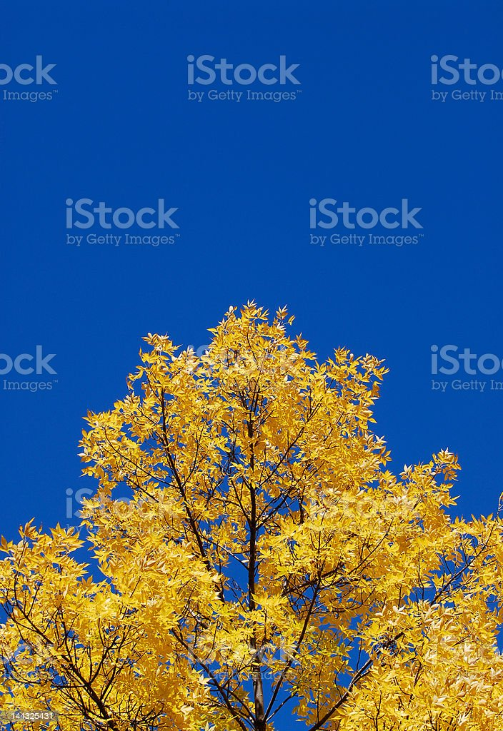 Yellow treetop, clear blue sky royalty-free stock photo