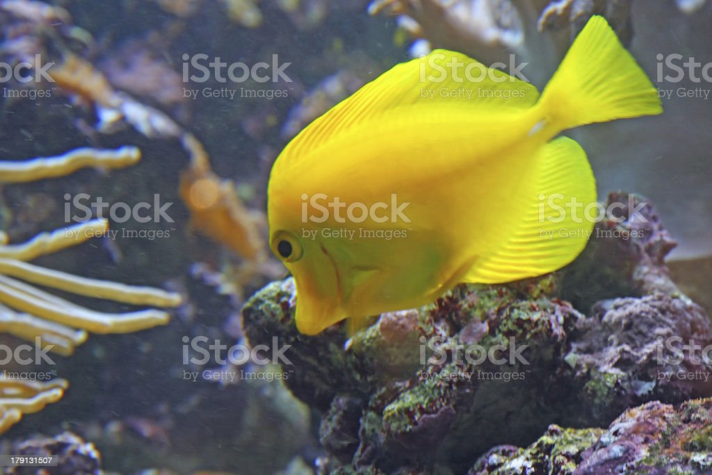 Yellow tropical fish and swim in the clear sea waters royalty-free stock photo
