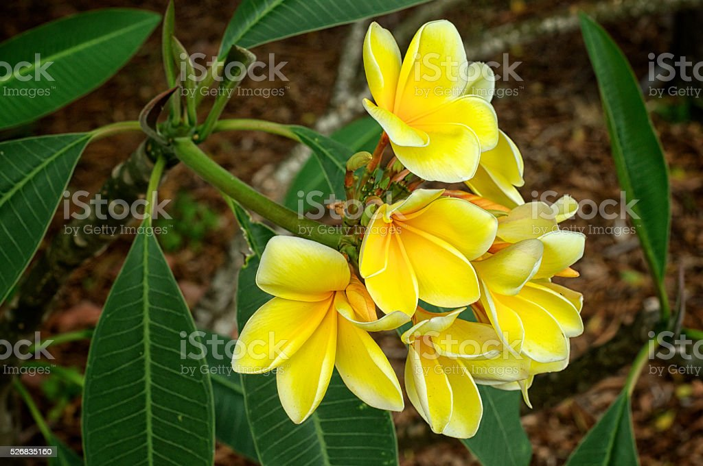 yellow tropical plumeria flowers in bloom stock photo