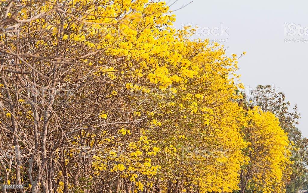 Yellow trumpet tree stock photo