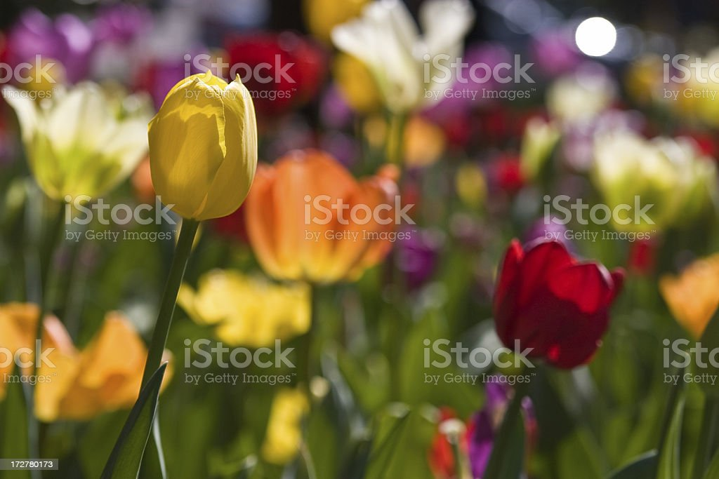 Yellow tulip among friends stock photo