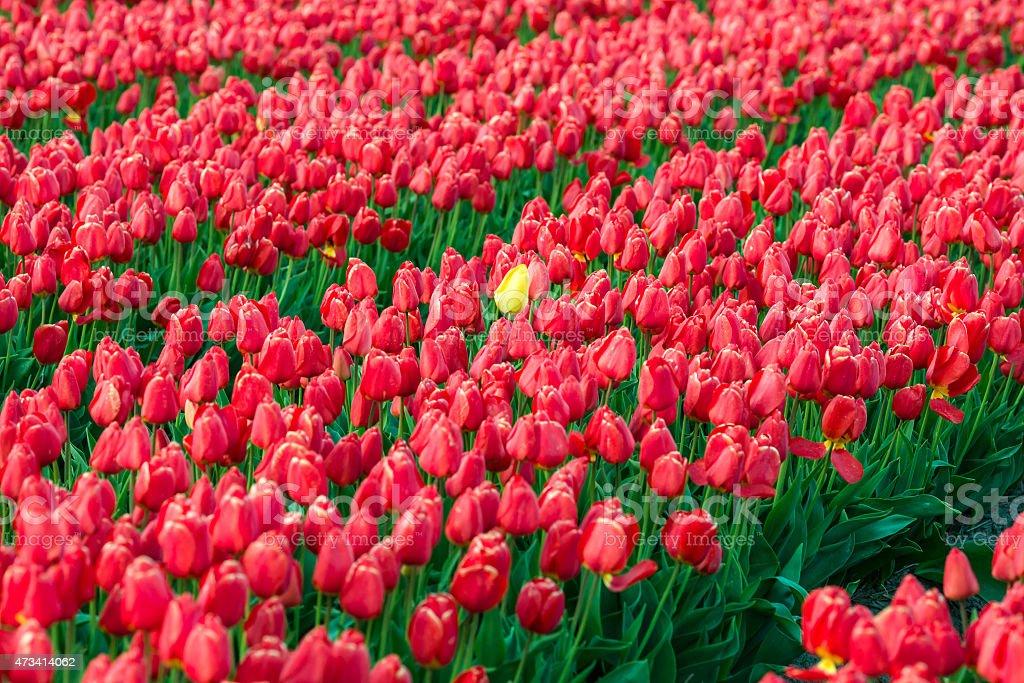 Yellow Tulip between red tulips stock photo