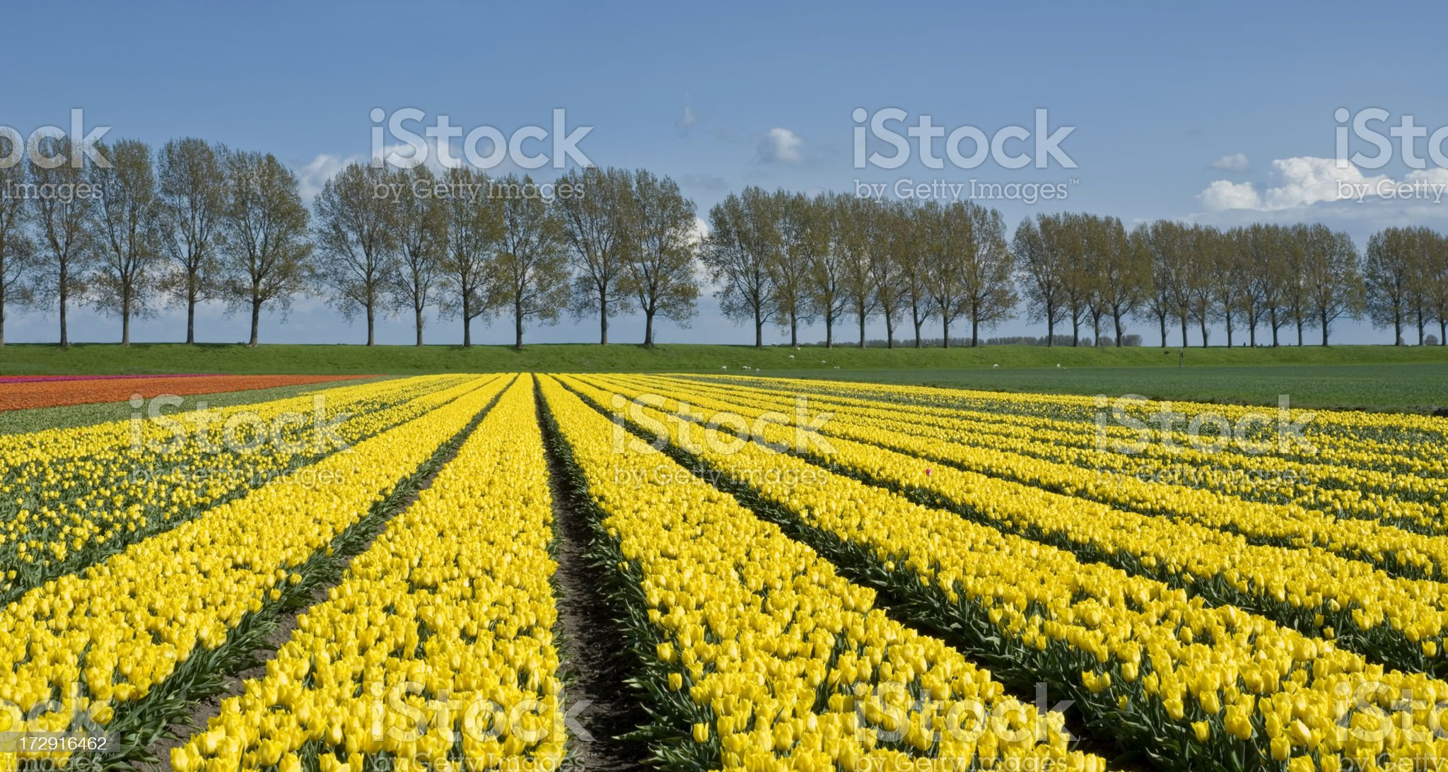 Yellow Tulip Fields royalty-free stock photo