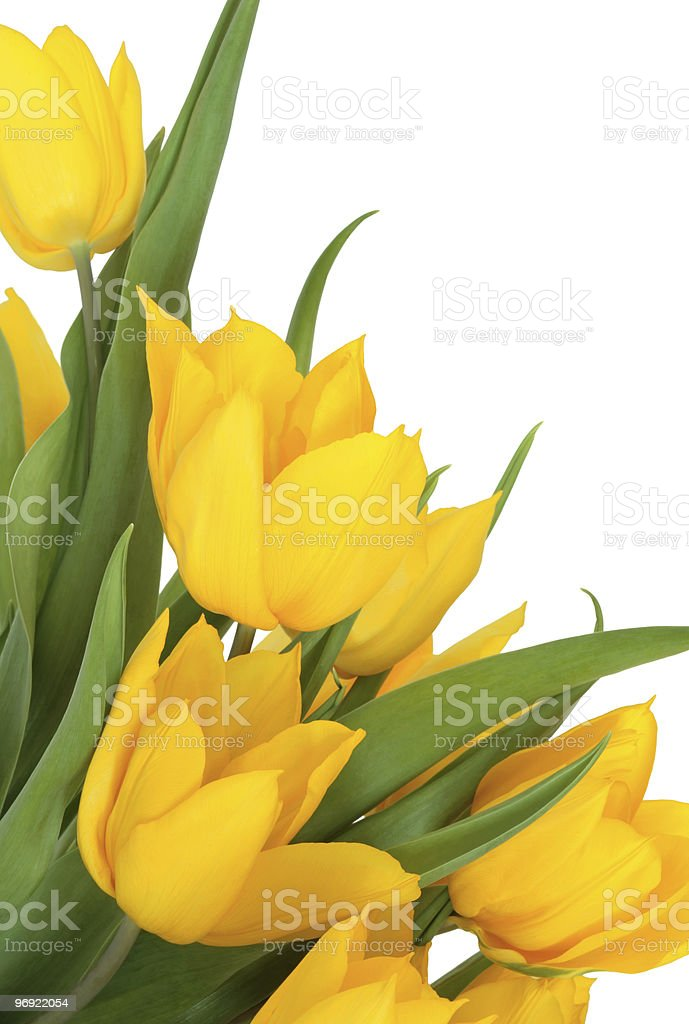 Yellow Tulip Flower Beauty stock photo