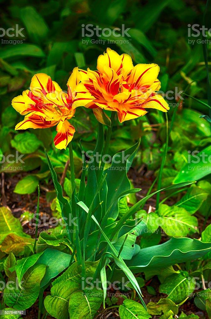 Yellow tulip flower royalty-free stock photo