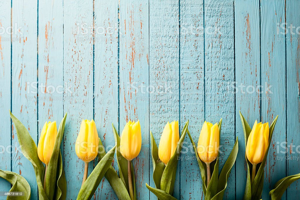 Yellow Tulip Flowers on Old Blue Wood - Season Background stock photo