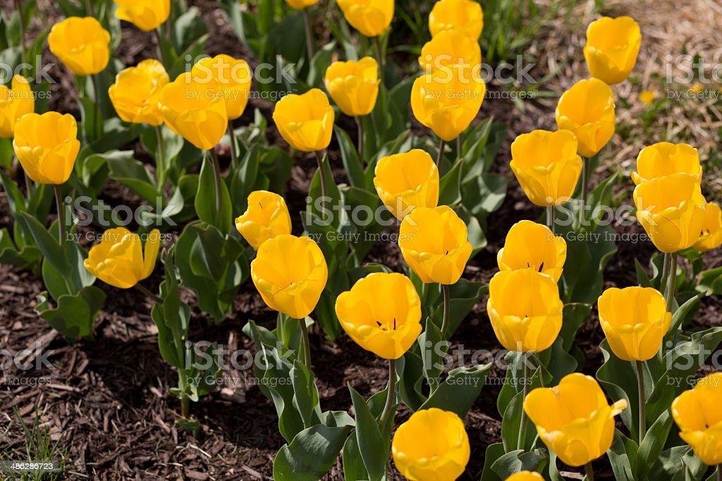 yellow tulip flowers stock photo