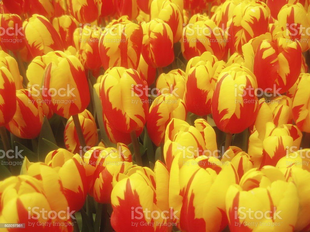 gelbe Tulpenk?pfe stock photo