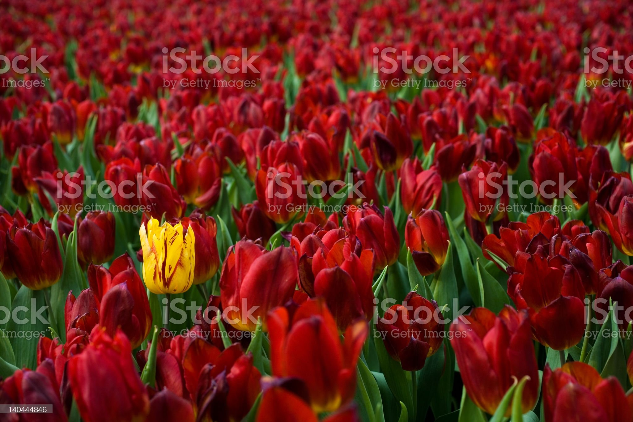 Yellow tulip in a field of red royalty-free stock photo