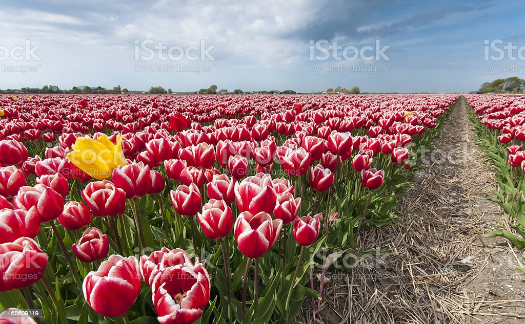 Yellow tulip in field of pink tulips royalty-free stock photo
