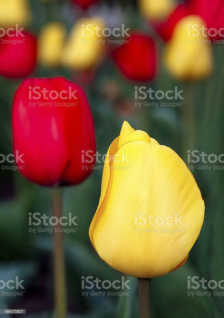 Tulipano giallo in anteriore foto stock royalty-free