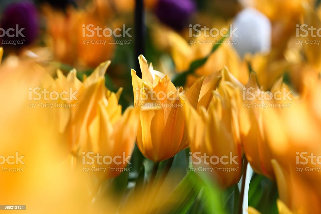 Yellow tulip in the field royalty-free stock photo