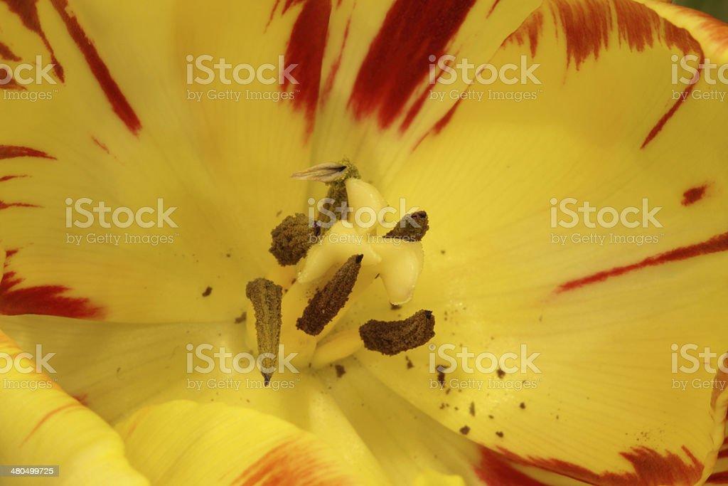yellow tulip interior royalty-free stock photo